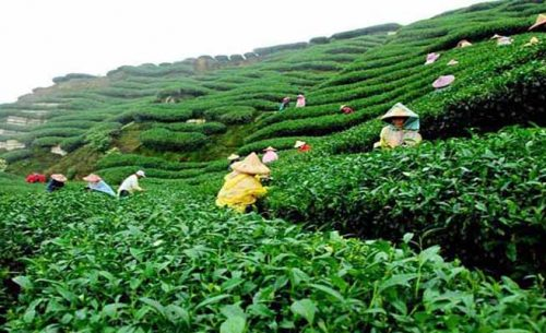 Malonichora tea garden best tourist place in sylhet